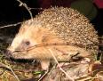 Aktuality - Nechte ježky v přírodě