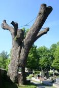 Aktuality - Nad památným stromem se stahují mračna