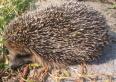 Aktuality - Chovejme se k ježkům fér