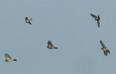 Aktuality - Ptákem roku 2010 se stala kukačka
