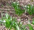 Aktuality - Bledule pokvetou ještě čtrnáct dní
