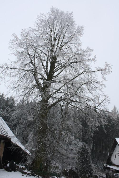 V Pernštejnských Janovicích si stromů váží